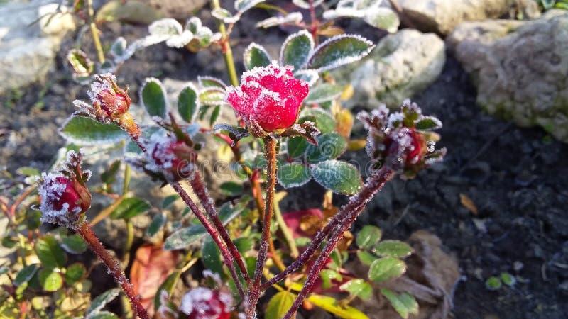 Rosa roja miniatura minúscula en jardín frío y escarchado del otoño imagenes de archivo