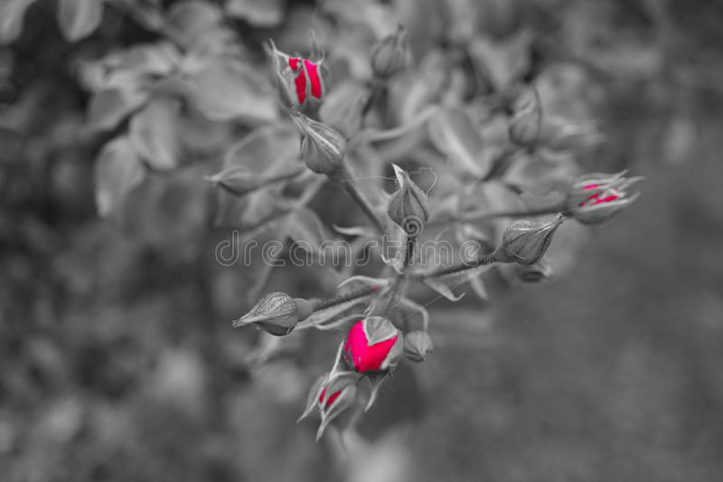 Rosa roja no todavía florecida, fondo en blanco negro fotografía de archivo
