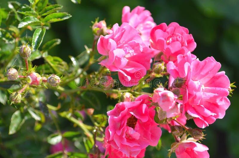 Rosa ros på rosa rosblommor för bakgrund royaltyfri bild
