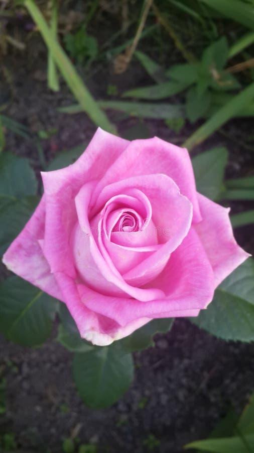 Rosa rosa royaltyfri fotografi