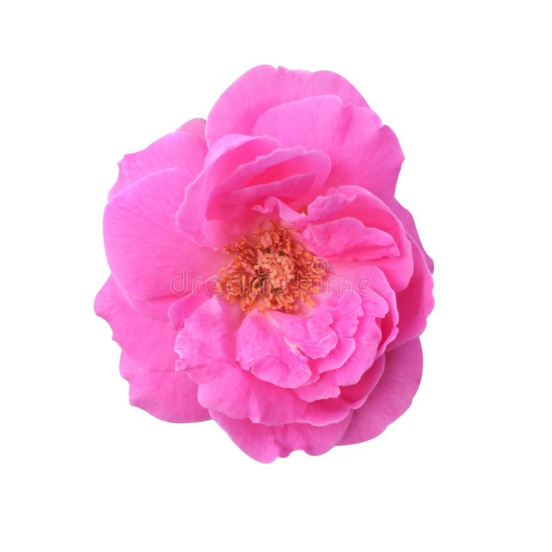 Rosa Rosa damascenablomma royaltyfria foton