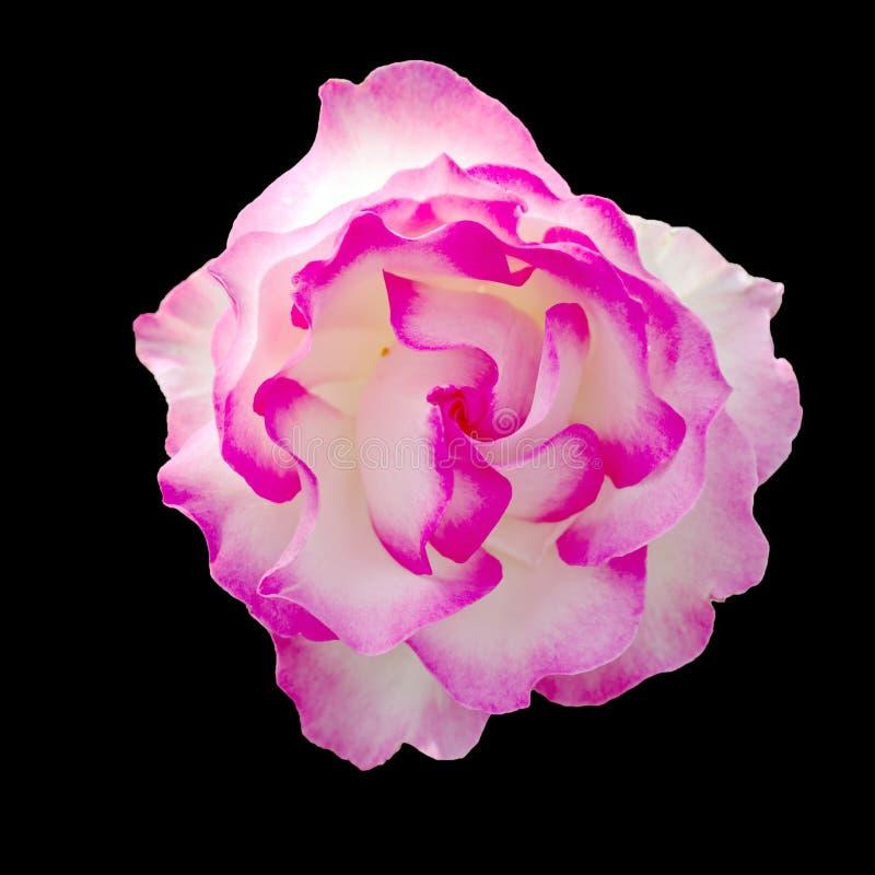 Rosa rosa e bianca con tanti fronzoli isolata sul nero immagine stock