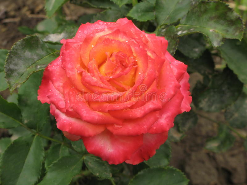 Rosa rosa e gialla bagnata fotografia stock libera da diritti