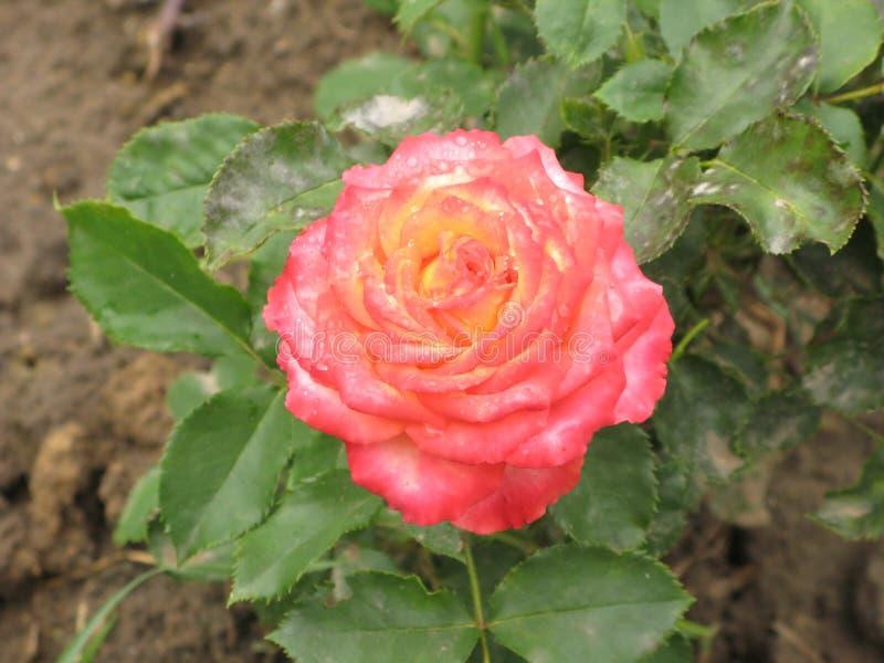 Rosa rosa e gialla bagnata fotografia stock