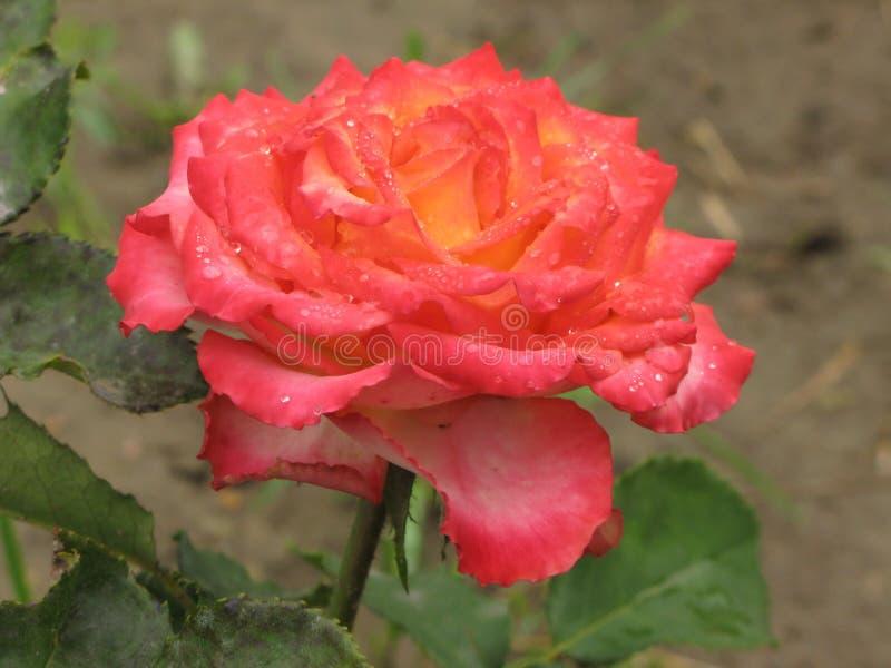 Rosa rosa e gialla bagnata immagini stock