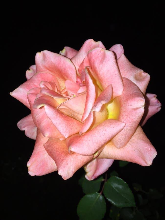 Rosa rosa färger royaltyfri foto