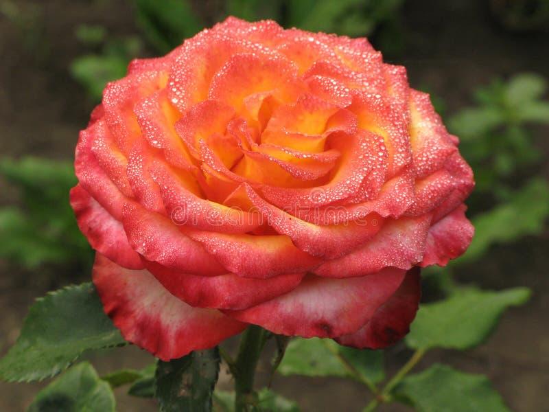 Rosa rosa-gialla bagnata fotografia stock libera da diritti