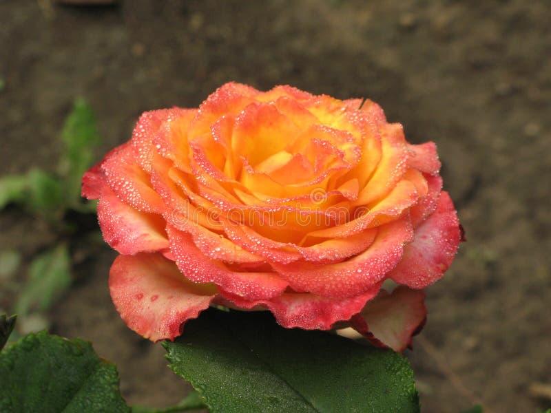 Rosa rosa-gialla bagnata fotografie stock libere da diritti