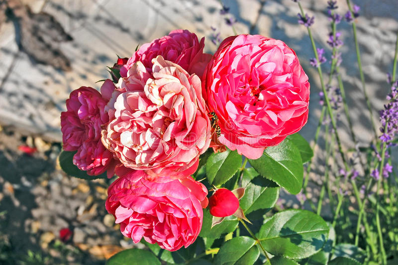 Rosa Rosa odorata royaltyfria bilder