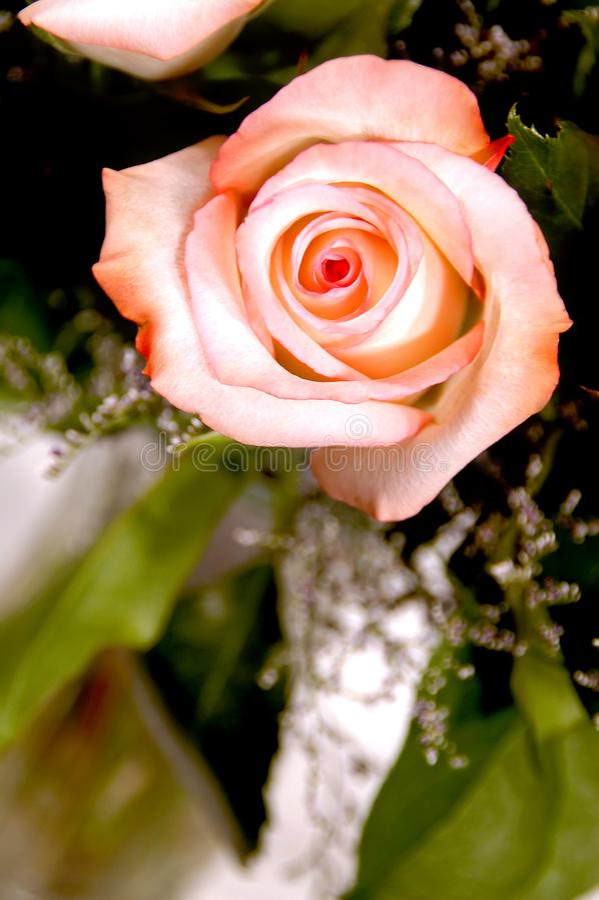 Rosa rosa in vaso fotografie stock