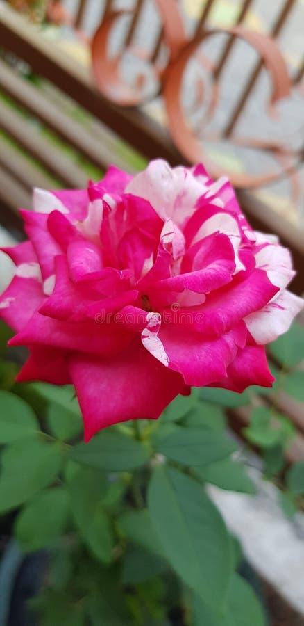 Rosa rosada bicolor fotos de archivo libres de regalías