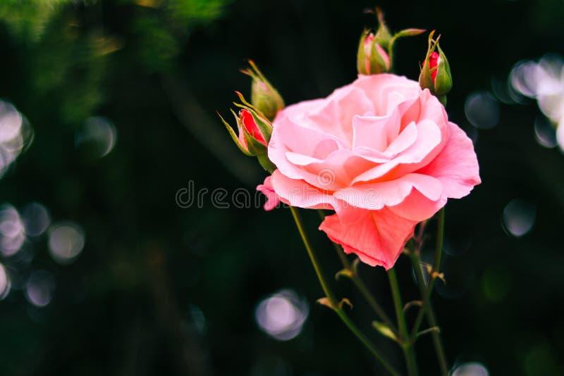 Rosa rosada hermosa para el día de tarjeta del día de San Valentín, conceptos del amor imagenes de archivo