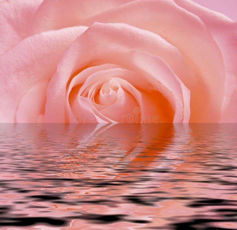 Rosa rosafarben, Reflexion im Wasser stock abbildung