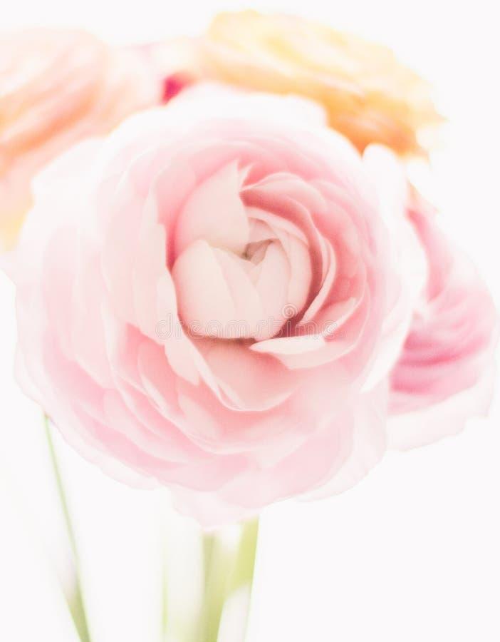 rosa rosafarbene Blumen vom Garten - Hochzeit, Feiertag und Blumengarten angeredetes Konzept lizenzfreies stockfoto