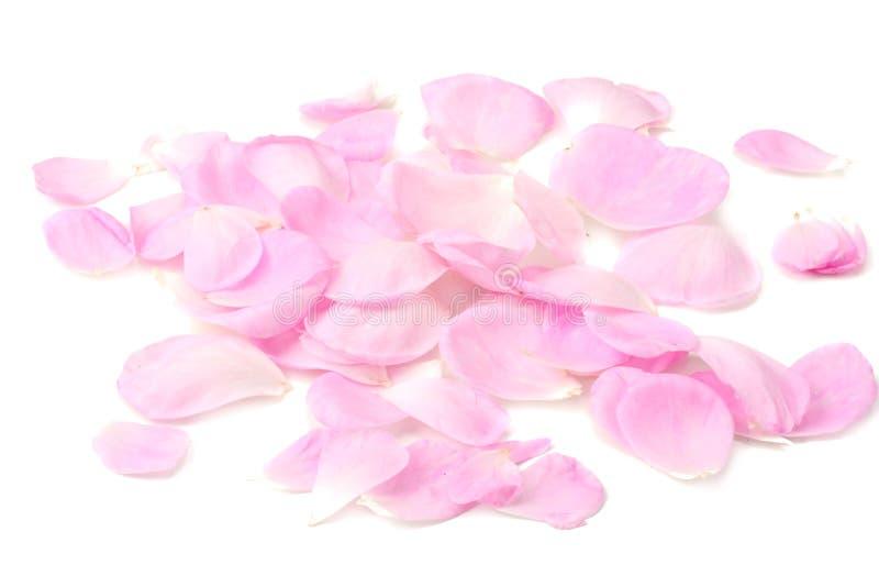 Rosa rosafarbene Blumenbl?tter getrennt auf wei?em Hintergrund lizenzfreie stockfotos