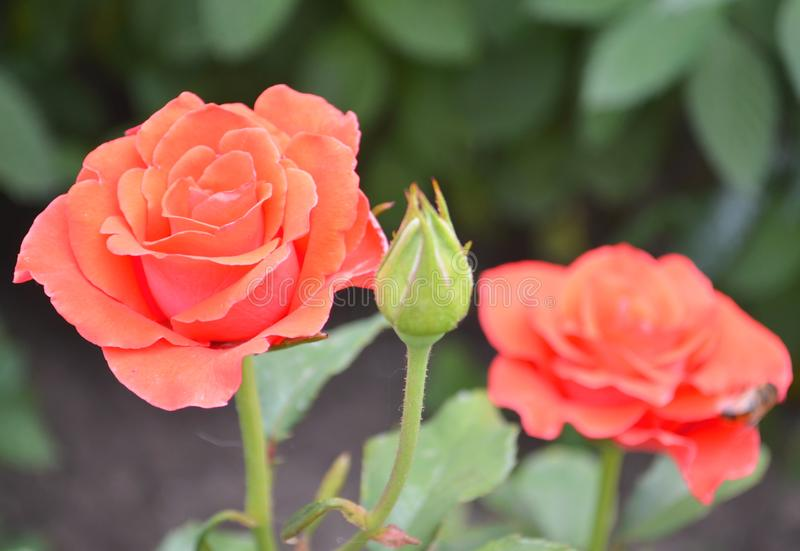Rosa Rose auf rosa Rosenblumen des Hintergrundes nave stockfotos