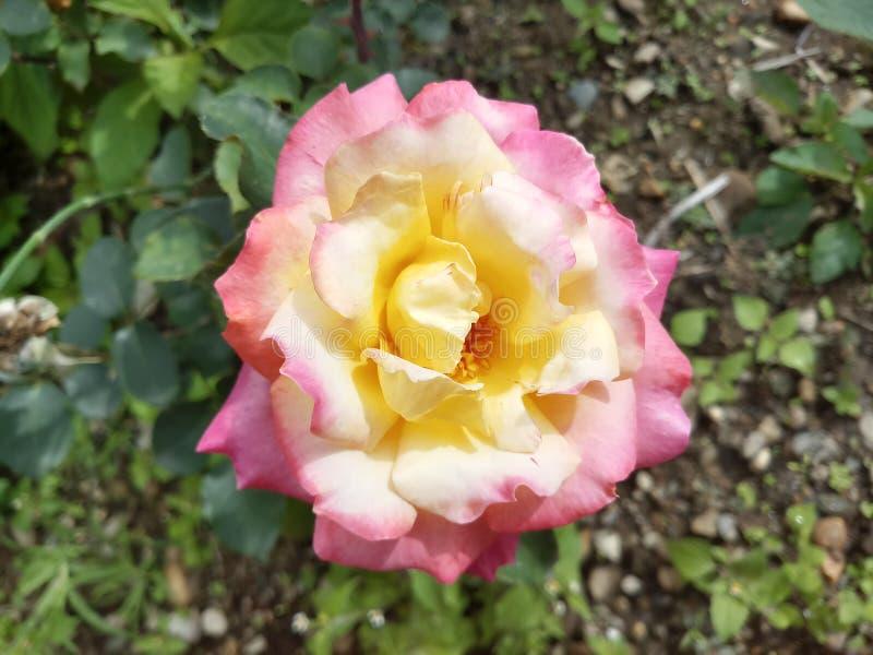 Rosa Rose Bud Nature Garden gialla del mazzo immagine stock libera da diritti