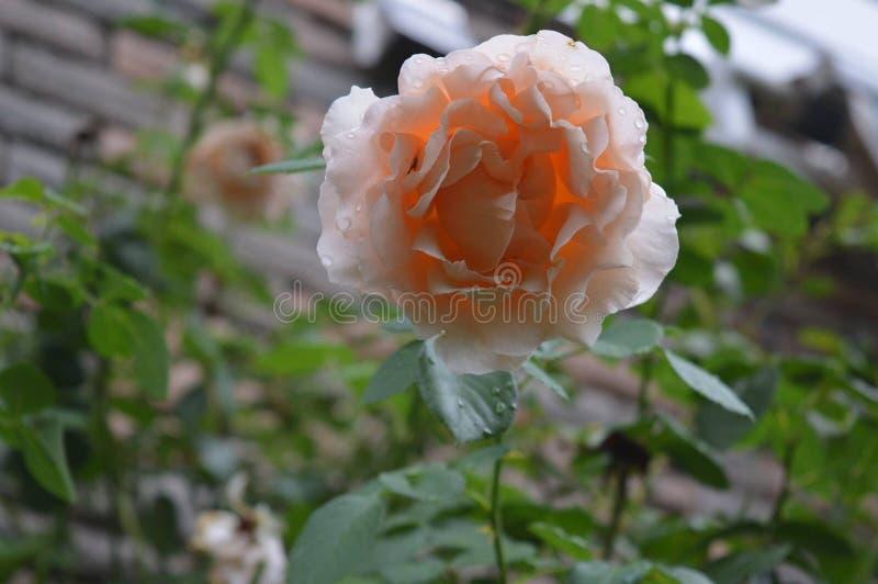 Rosa Rose On en vinranka arkivfoton