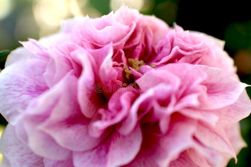 Rosa Rose Flower-Blütenstaubnahaufnahme stockfotografie