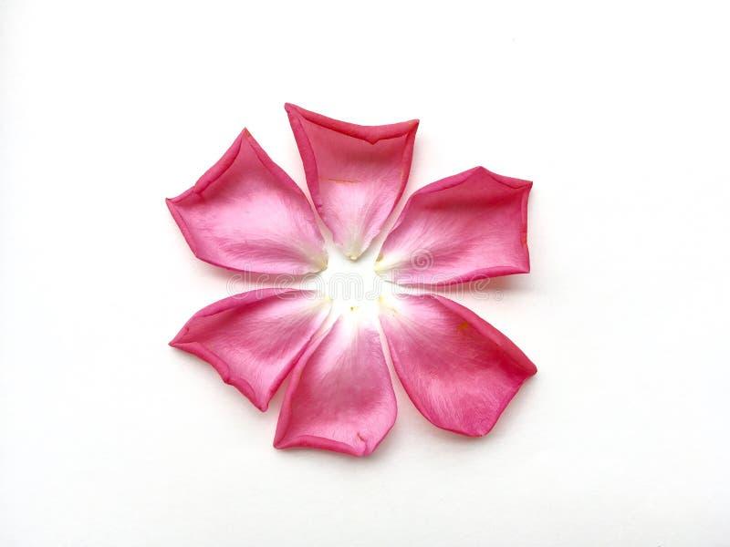 Rosa Rose Flower Petals auf weißem Hintergrund stockfotos
