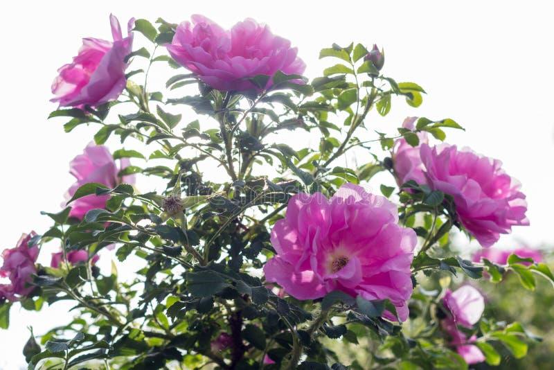 Rosa Rose Heidetraum hintergrundbeleuchtet durch die Sonne, horizontal lizenzfreies stockbild