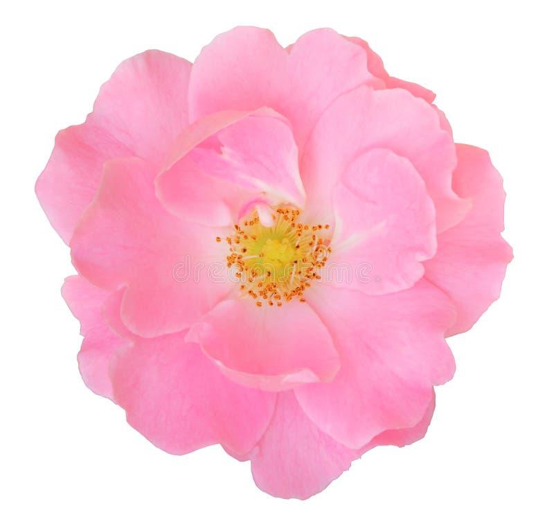 Rosa Rose Rosaceae lokalisiert auf weißem Hintergrund, einschließlich Beschneidungspfad lizenzfreies stockbild