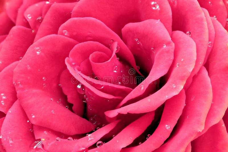 rosa rose vatten för droppar arkivbild