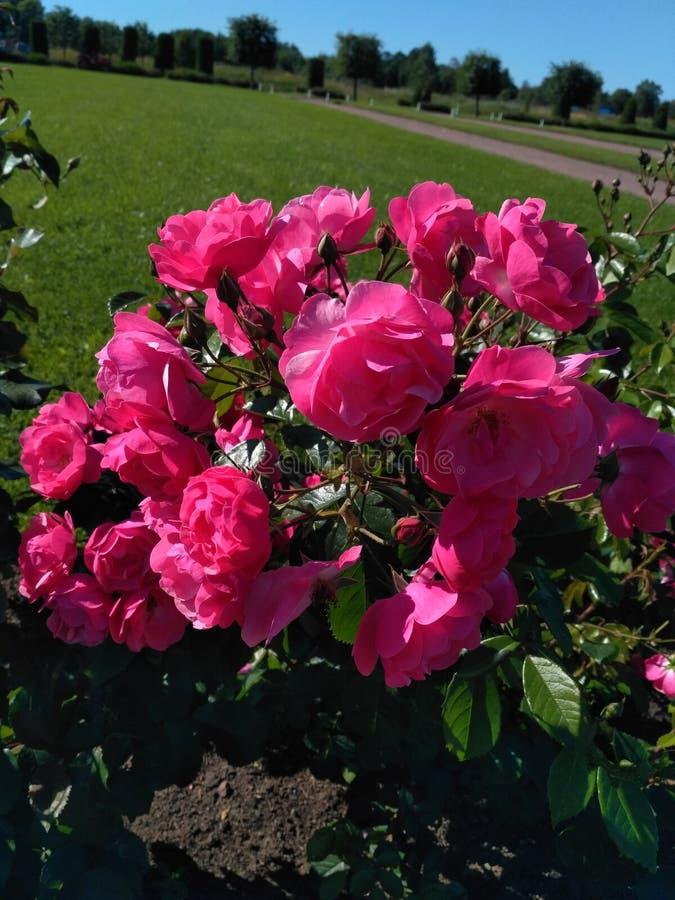 rosa Rosen blühen im Sommer mit einem der Gärten von St Petersburg lizenzfreie stockbilder