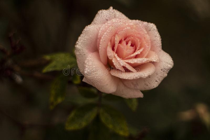 Rosa Rosen-Blume am frühen nassen Morgen stockbild