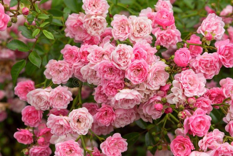 Rosa Rosen, die in einem Garten, Naturhintergrund blühen lizenzfreies stockbild