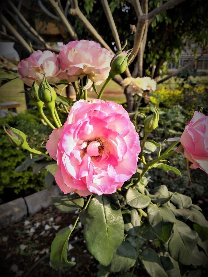 Rosa Rosen-Symbol der Liebe lizenzfreies stockbild