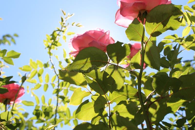Rosa Rosen und Hintergrund vom Himmel und von grünem gutem lizenzfreies stockfoto