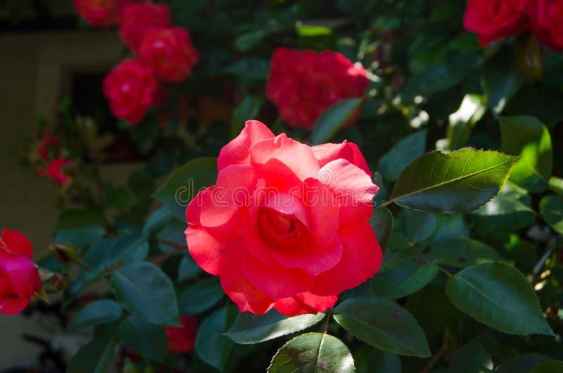 Rosa Rosen und Sonnenlicht stockfotografie