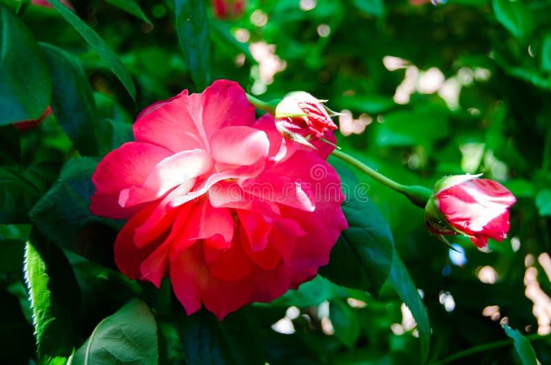Rosa Rosen und Sonnenlicht lizenzfreie stockfotos
