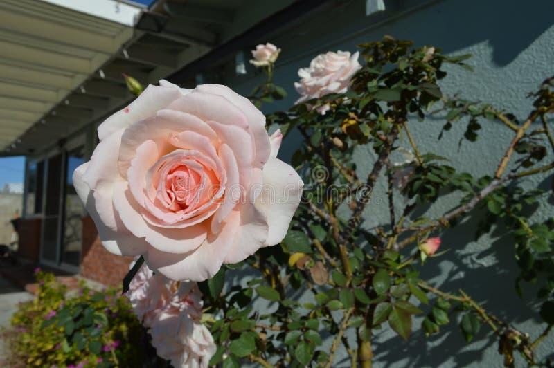 Rosa Rosen-volle Blüte-Haus-Rückseite stockfotografie