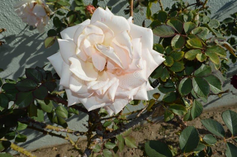 Rosa Rosen-volle Blüte-Haus-Rückseite stockfotos