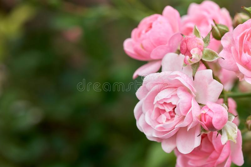 Rosa rosor blommar i en tropisk trädgård med naturlig grön görande suddig bakgrund Föreställer romans steg till förälskelse arkivbild