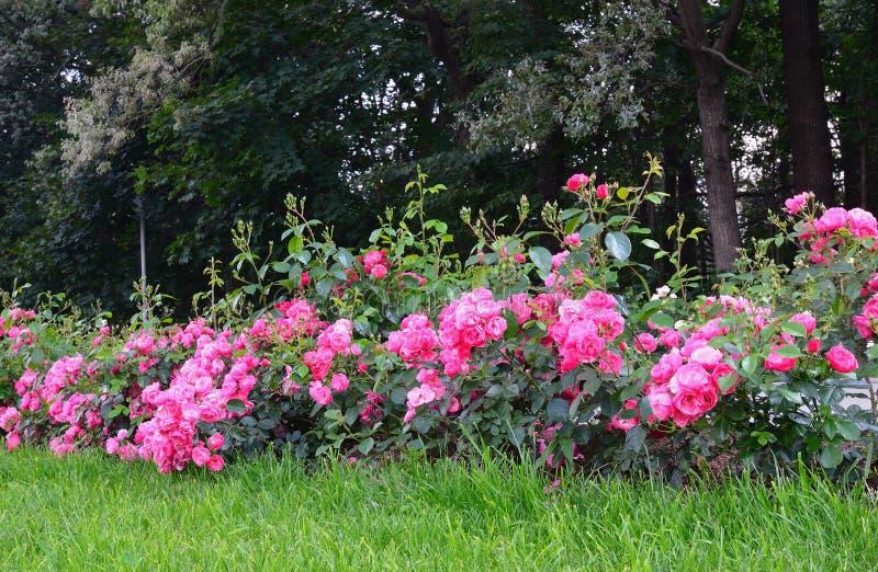Rosa rosor för blomning i trädgården fotografering för bildbyråer