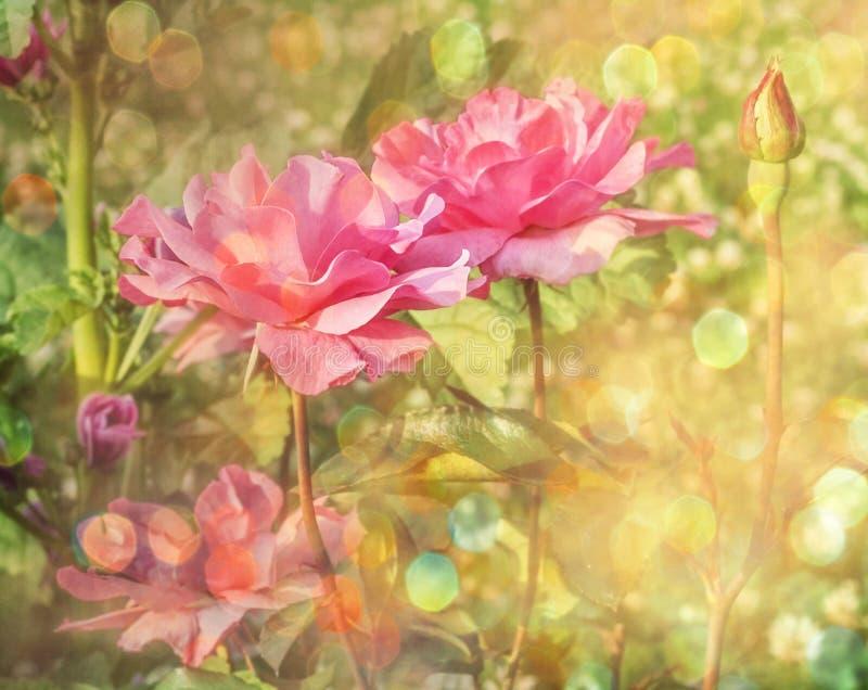 Rosa rosor i ljus bokeh royaltyfri fotografi