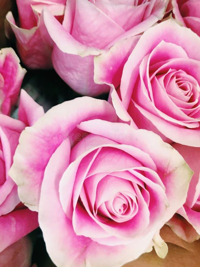 Rosa rosor på supermarket royaltyfria bilder