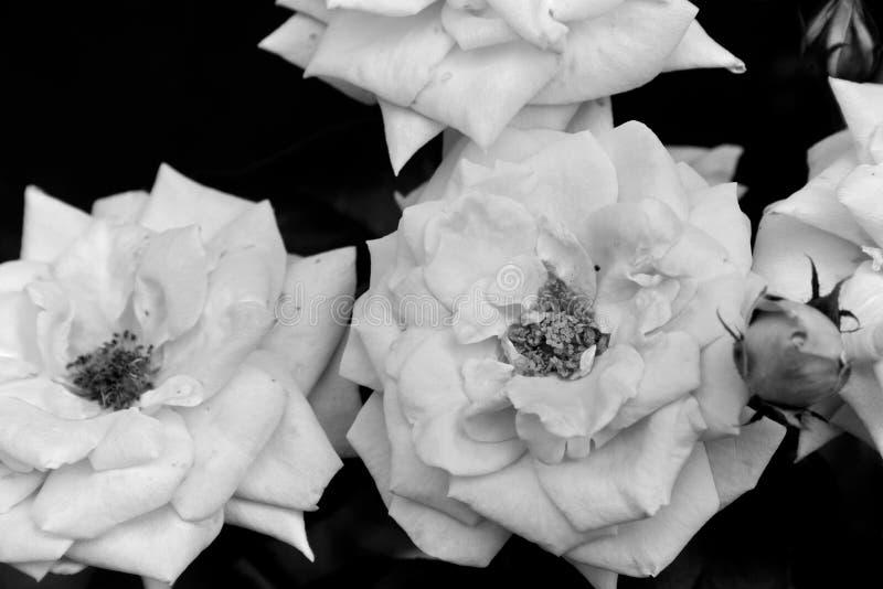 Rosa rosor specificerar svartvit oavkortad blom royaltyfri fotografi