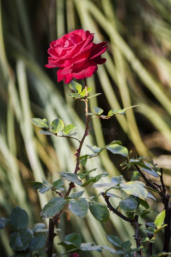 Rosa rossa fotografia stock