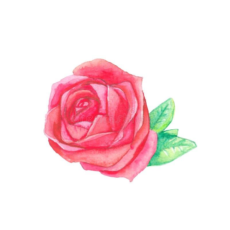 Rosa rossa, acquerello illustrazione di stock