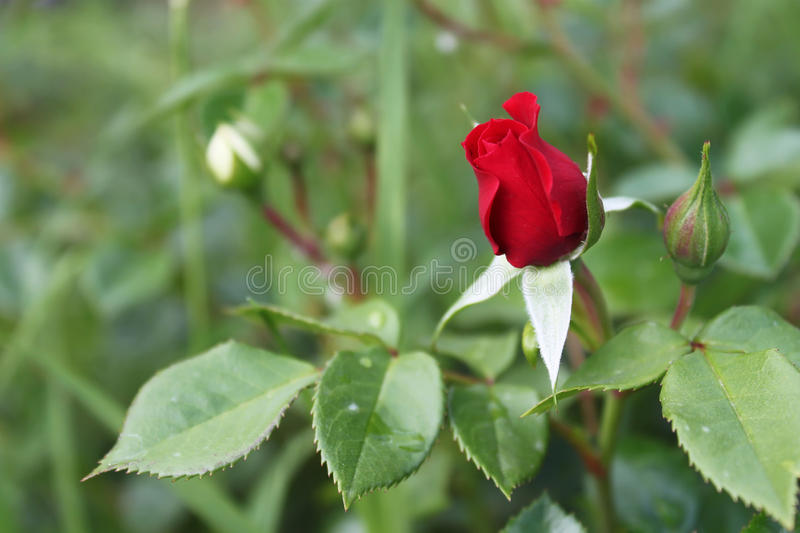 Rosa rossa che cresce fuori fotografia stock libera da diritti
