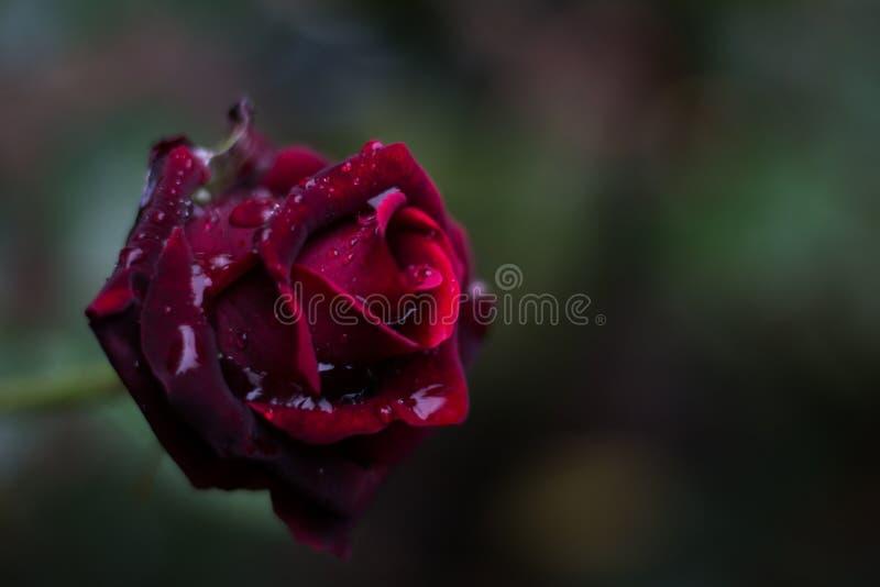 Rosa rossa con goccia di pioggia fotografia stock