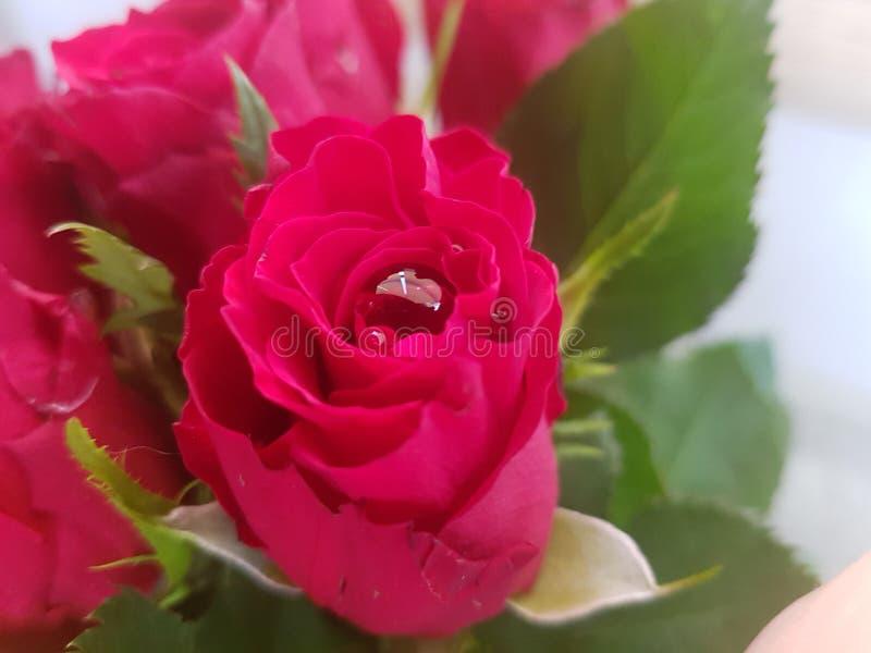 Rosa rossa con grande waterdrop immagini stock