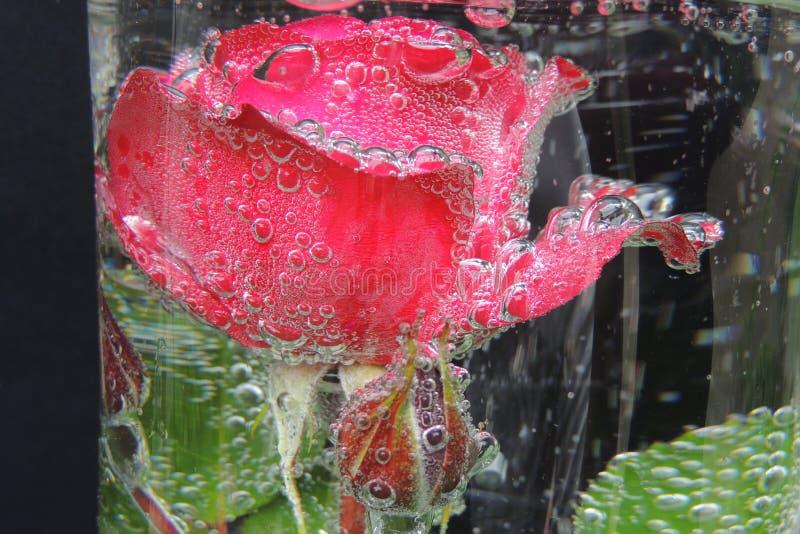 Rosa rossa con le bolle di acqua in un vaso di vetro fotografie stock