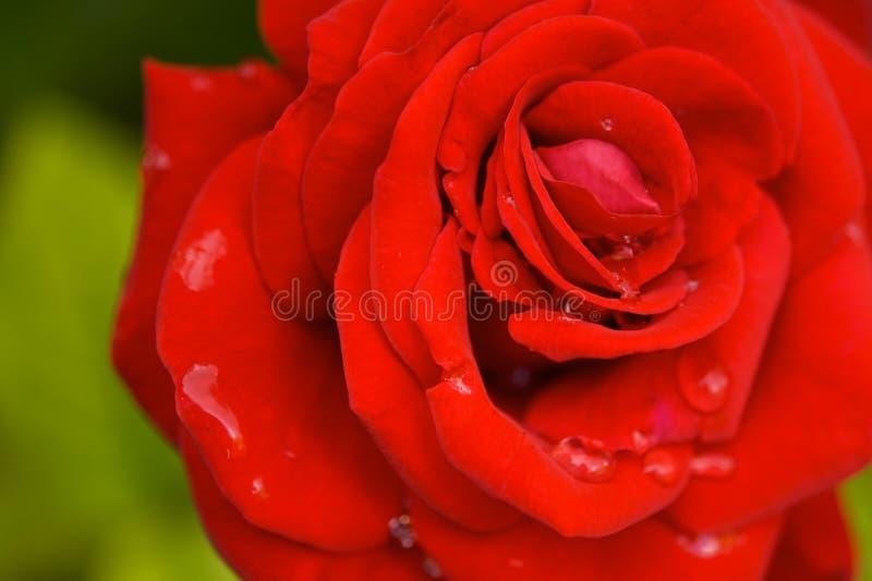 Rosa rossa con le gocce della pioggia fotografia stock