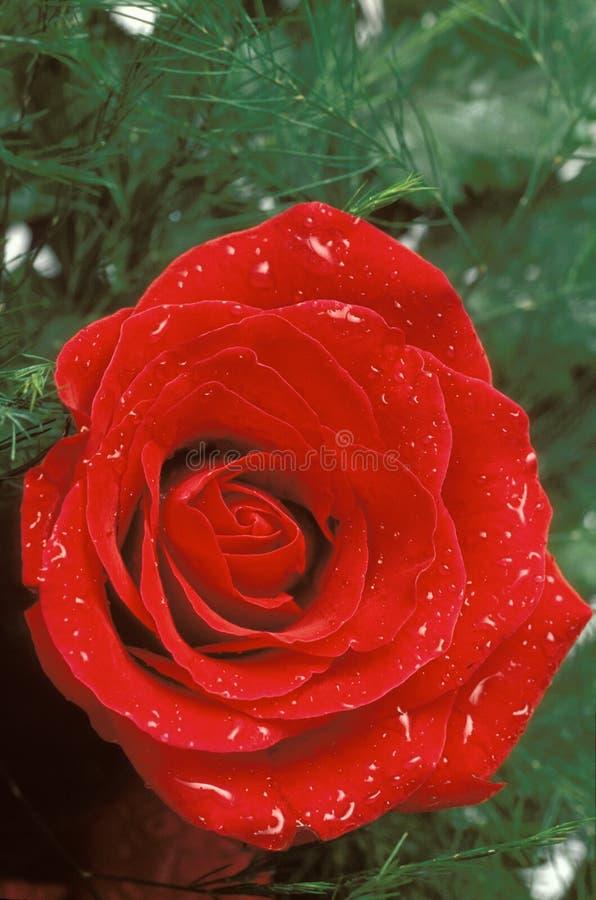 Rosa rossa con le goccioline di acqua e della pianta fotografia stock libera da diritti
