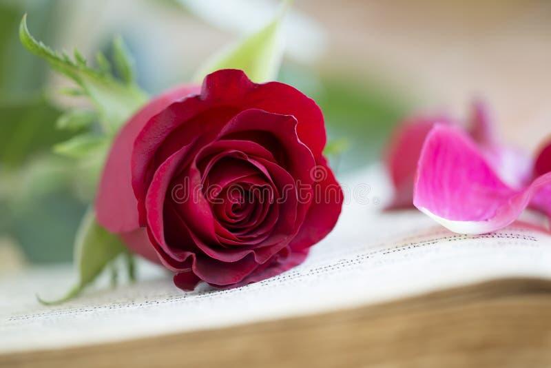 Rosa rossa - concetto di amore fotografie stock libere da diritti